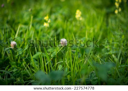Two pink flower clover. Selective focus. Shallow depth of field.  - stock photo