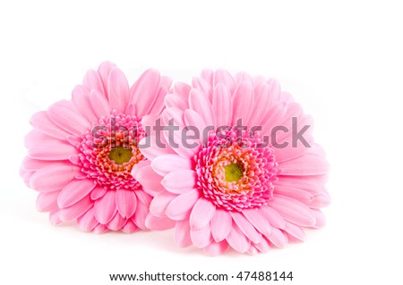 Two pink gerber isolated on white background - stock photo