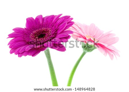 two pink gerbera flowers isolated on white
