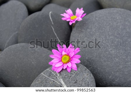 Two pink gerbera on pebbles