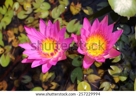 Two pink lotus flower on water Two purple lotus flower on water - stock photo