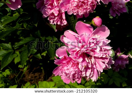 Two pink peonies in the garden  - stock photo
