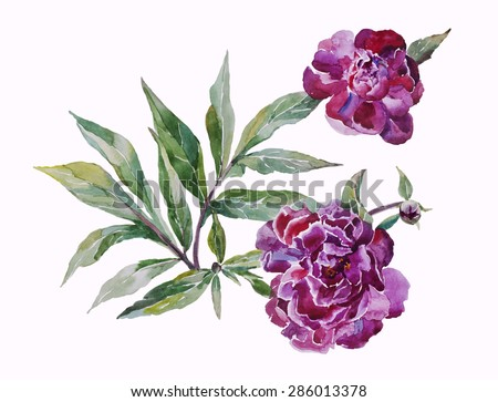 Two pink peonies twig with leaves original watercolor art isolated on white background - stock photo