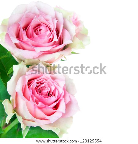 two pink roses flowers