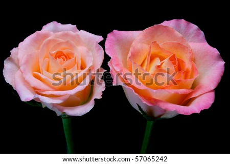 two pink roses with peach core isolated on black