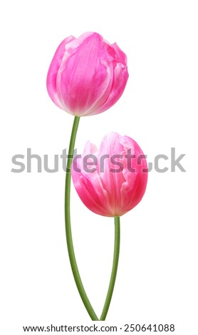 Two pink tulips, on white background.
