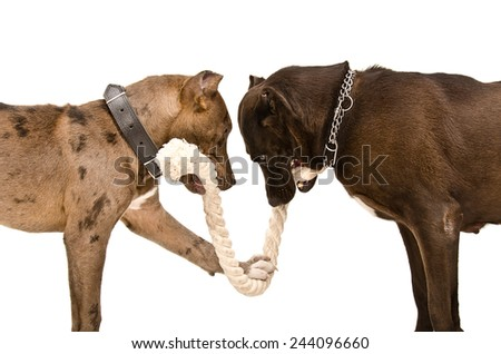 Two pitbulls  gnaw rope standing isolated on white background - stock photo