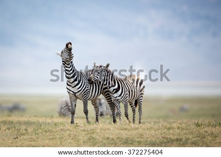 Two Plains Zebra fighting in the Ngorongoro Crater, Tanzania