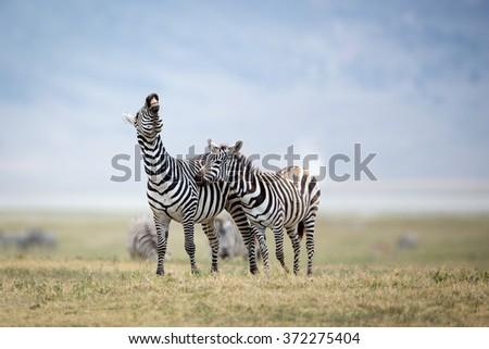 Two Plains Zebra fighting in the Ngorongoro Crater, Tanzania - stock photo