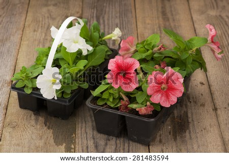 Two plastic flowerpots with white and pink petunia seedlings on the aged wooden table.  - stock photo