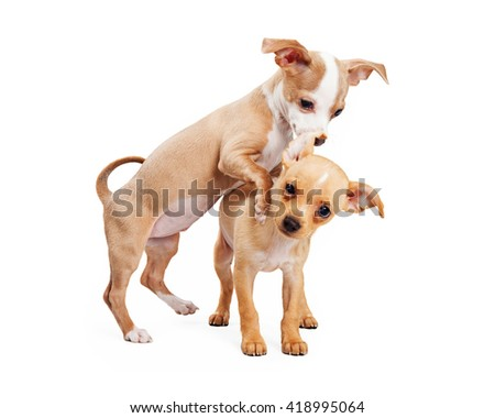 Two playful Chihuahua crossbreed puppies - stock photo