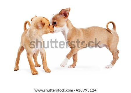 Two playful Chihuahua crossbreed puppies greeting each other. Isolated on white.