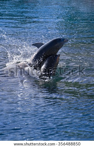 Two playful dolphins jumping out of the water