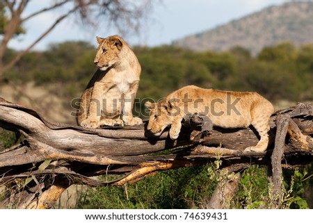 Two playful lion cubs on a fallen tree stump