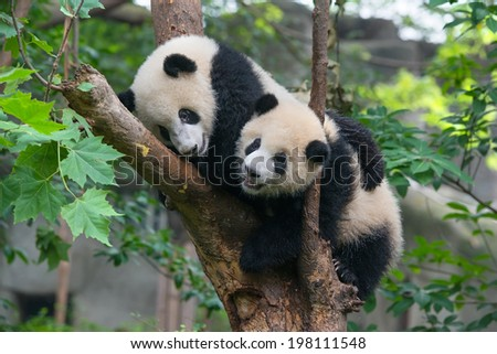 Two playful panda bears in tree - stock photo