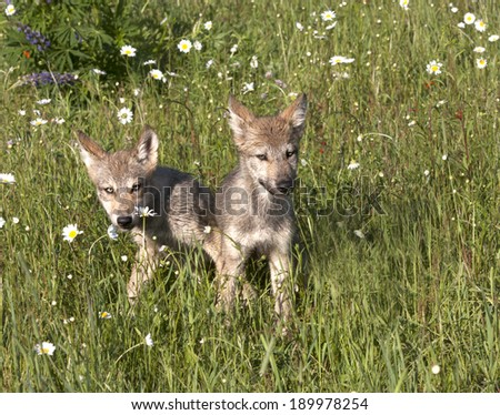 Two Playful Wolf Pups