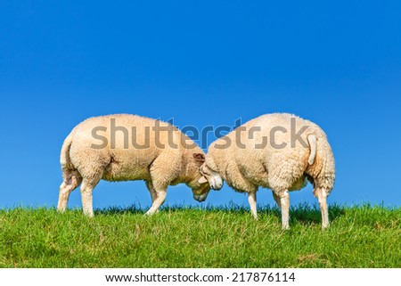 Two playing Dutch sheep on a dike against a clear blue sky - stock photo