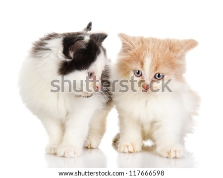 two playing fluffy kittens. isolated on white background