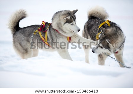 Two playing siberian husky dogs outdoor - stock photo