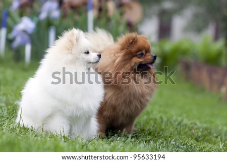 Two playing spitz - stock photo