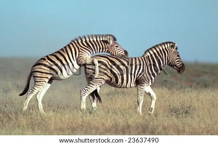 Two playing zebras in Etosha national park,Namibia - stock photo