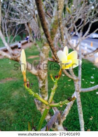 Two plumeria flowers on branch in garden - stock photo