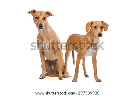 Two Podenco dogs sitting and standing in front of a white background - stock photo