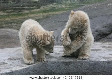 Two polar bear cubs (Ursus maritimus). - stock photo