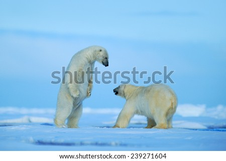 Two polar bear fighting on drift ice in arctict Svalbard - stock photo