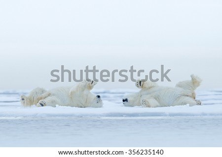 Two Polar bear lying relax on drift ice with snow, white animals in the nature habitat, Canada - stock photo