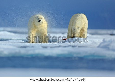 Two polar bear on drift ice in Arctic Russia. Polar bears in the nature habitat. Polar bear with snow. Polar bear with splash water. Action scene with two polar bears. Polar bear with bloody seal. - stock photo