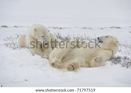 Two polar bears it is lazy lie on snow. - stock photo