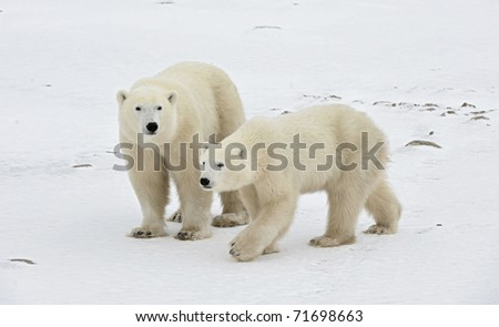 Two polar bears. Two polar bears go on snow-covered tundra. - stock photo