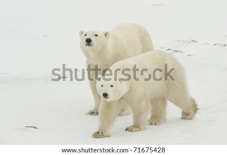 Two polar bears. Two polar bears go on snow-covered tundra one after another.It is snowing. - stock photo