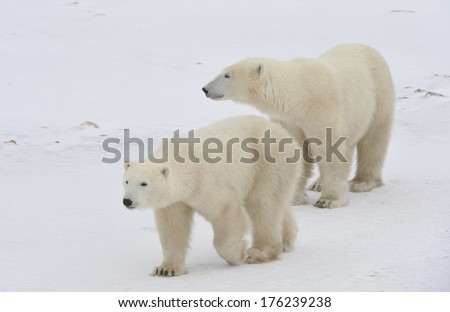 Two polars bear on Arctic tundra  - stock photo