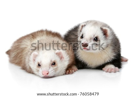 Two polecat lying and resting on a white background