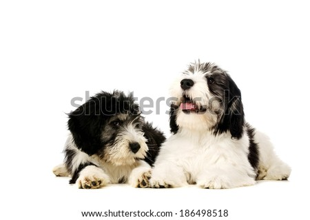 Two Polish Lowland Sheepdog laid together isolated on a white background