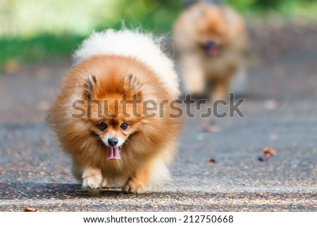Two Pomeranian dogs walking on the road in the garden - stock photo