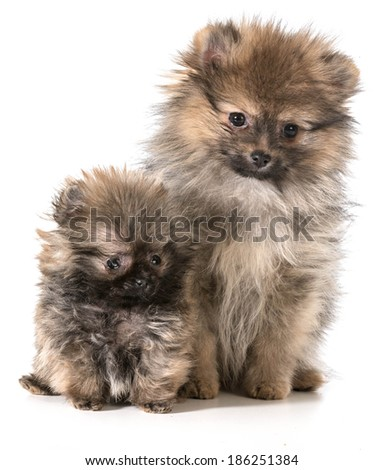 two pomeranian puppies sitting