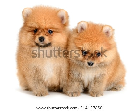 two pomeranian puppy the age of 1,5 month isolated on white - stock photo