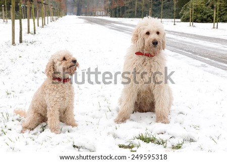 Two poodle dogs sitting together in snow along road