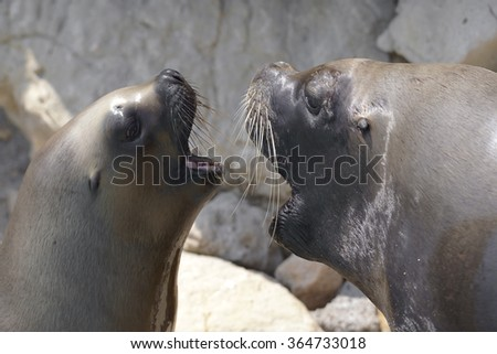 Two Portraits of South American sea lions or Patagonian sea lion (Otaria flavescens, formerly Otaria byronia), male and female open mouth - stock photo