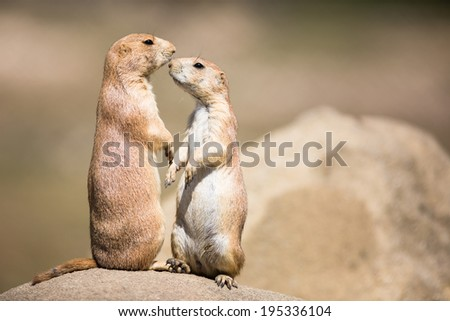 Two prairie dogs (Cynomys ludovicianus) in close communication - stock photo