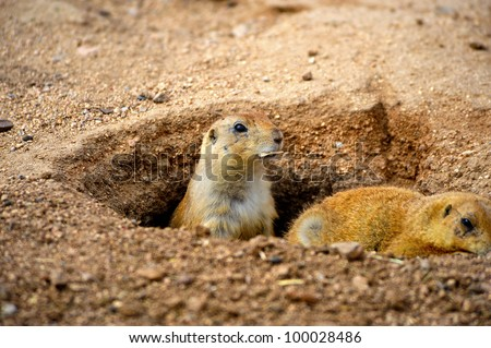 Two prairie dogs looking out of their hole.