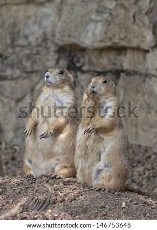 two prairie dogs watching