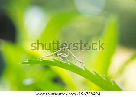 Two Praying Mantis Nymphs Looking at Each Other on a Leaf - stock photo