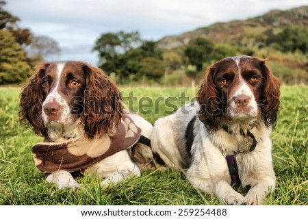 two pretty liver and white working type english springer spaniel pet gundogs - stock photo