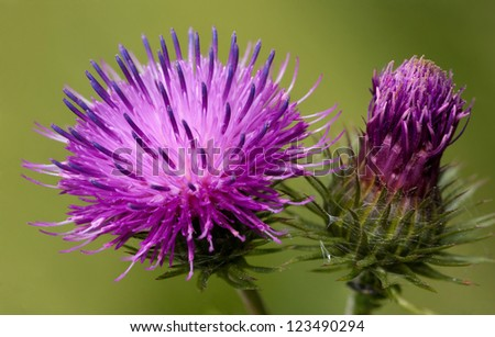 Two prickles - stock photo