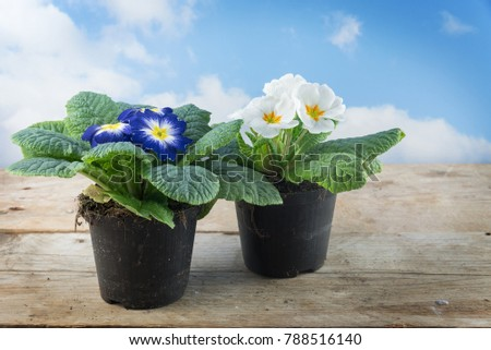 Two primrose plants primula vulgaris hybrid stock photo royalty two primrose plants primula vulgaris hybrid potted spring flowers blue and white blossoms mightylinksfo