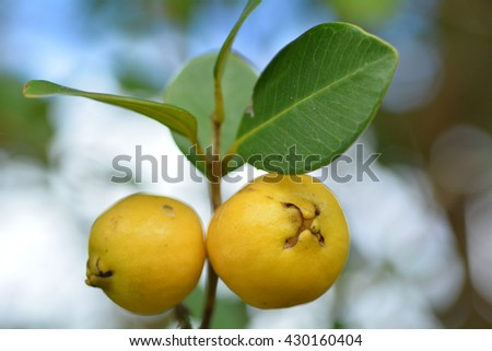 Two psidium cattleyanum fruit commonly known as Cattley guava, strawberry guava or cherry guava grow on a tree.
